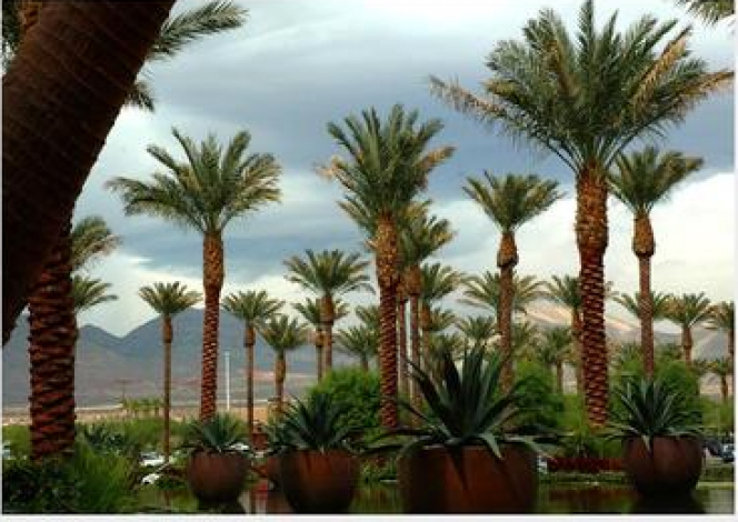 palm trees in summerlin